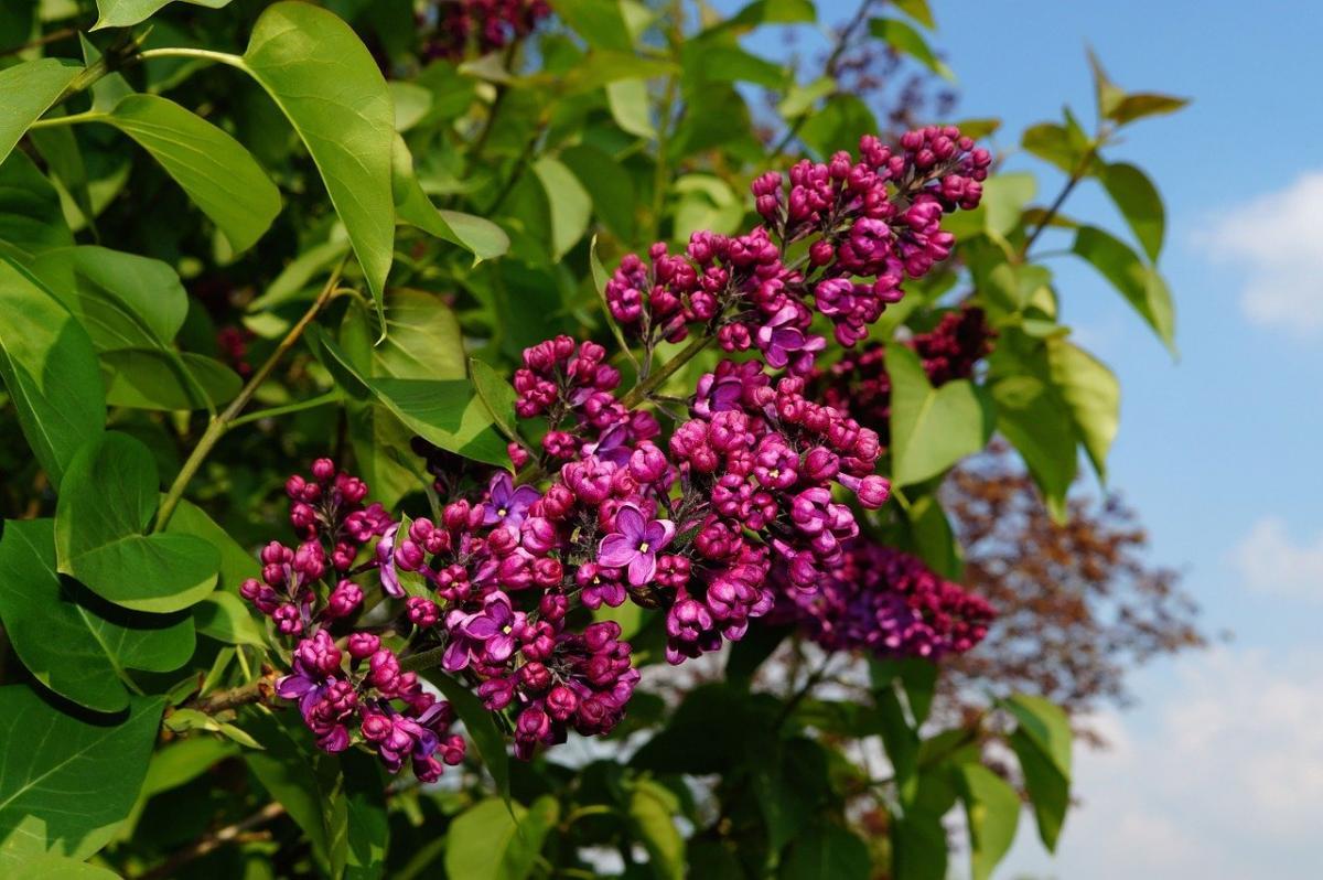 Drzewa ozdobne kwitnące w maju - Jakie drzewa ozdobne kwitną w maju?