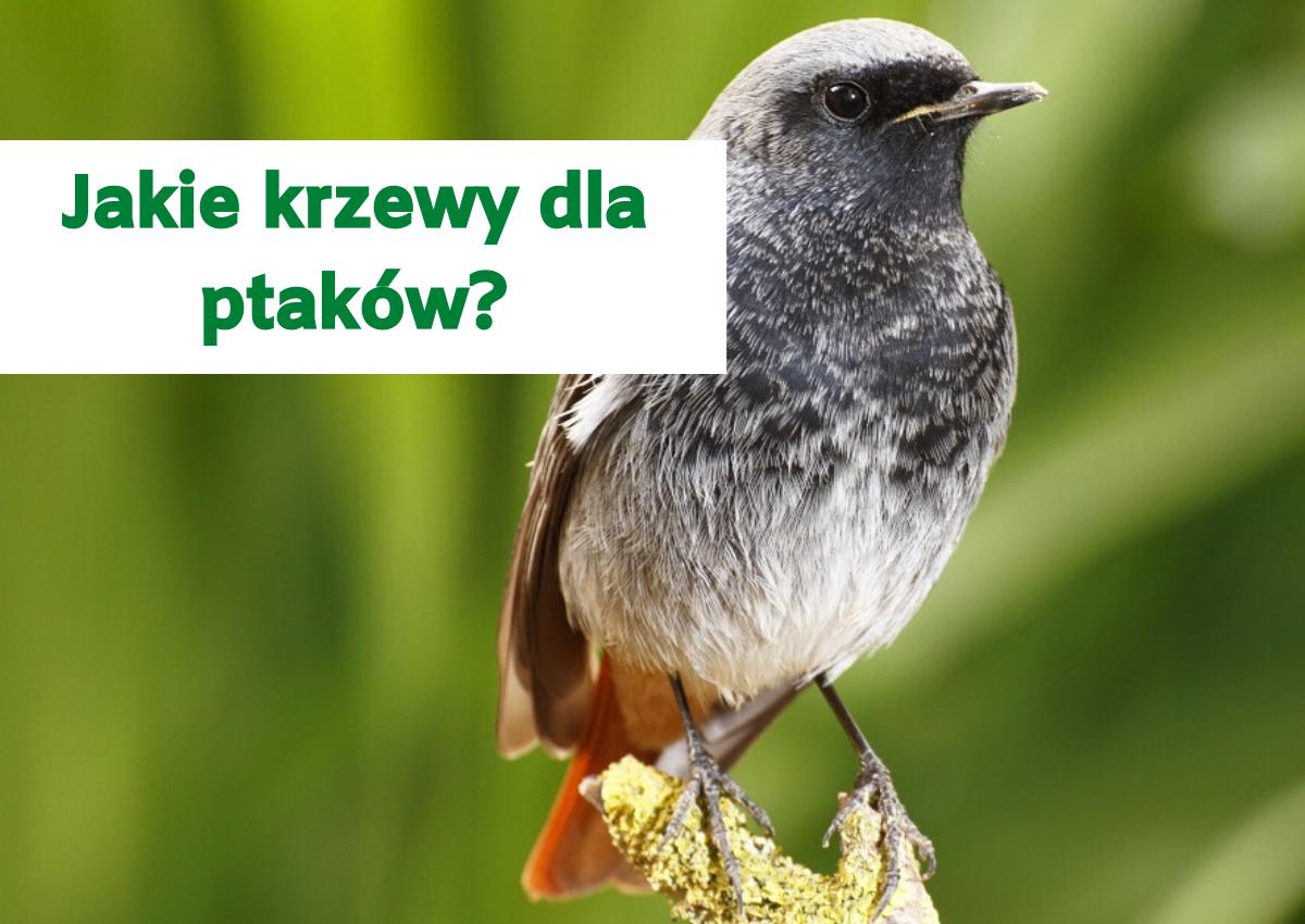 Jakie krzewy dla ptaków?