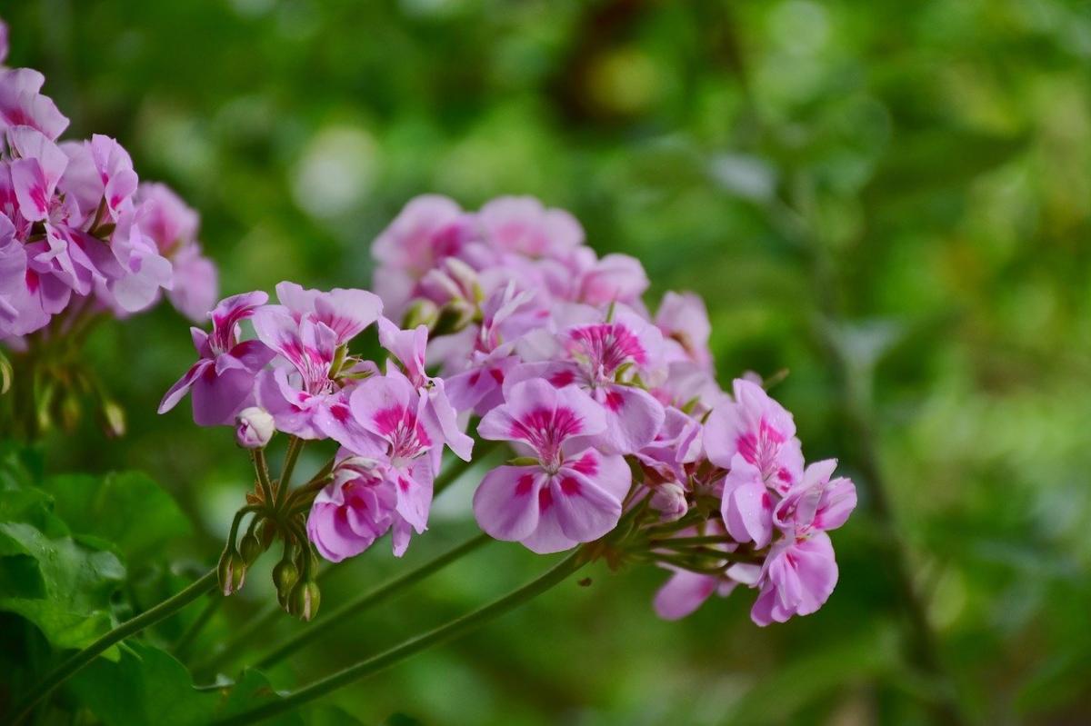 Jakie kwiaty odstraszają komary?