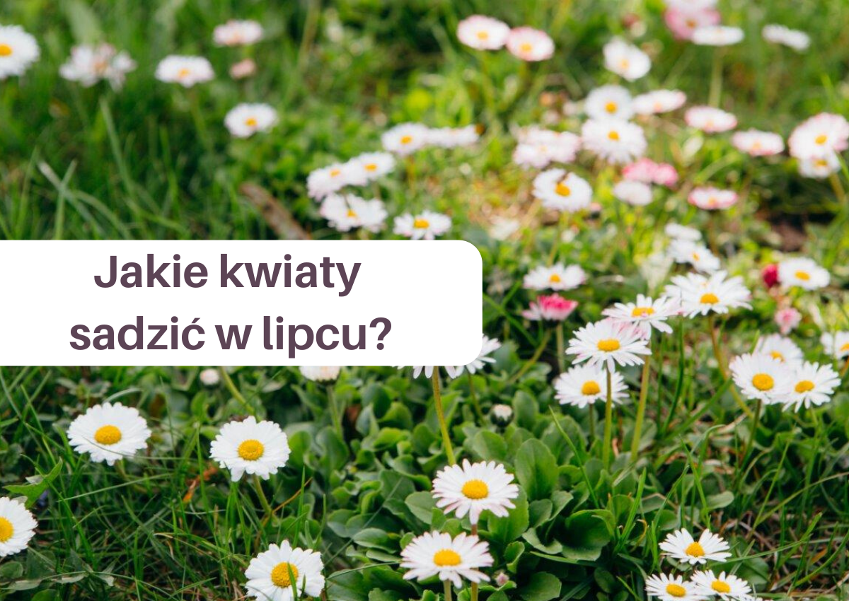 Jakie kwiaty sadzić w lipcu?