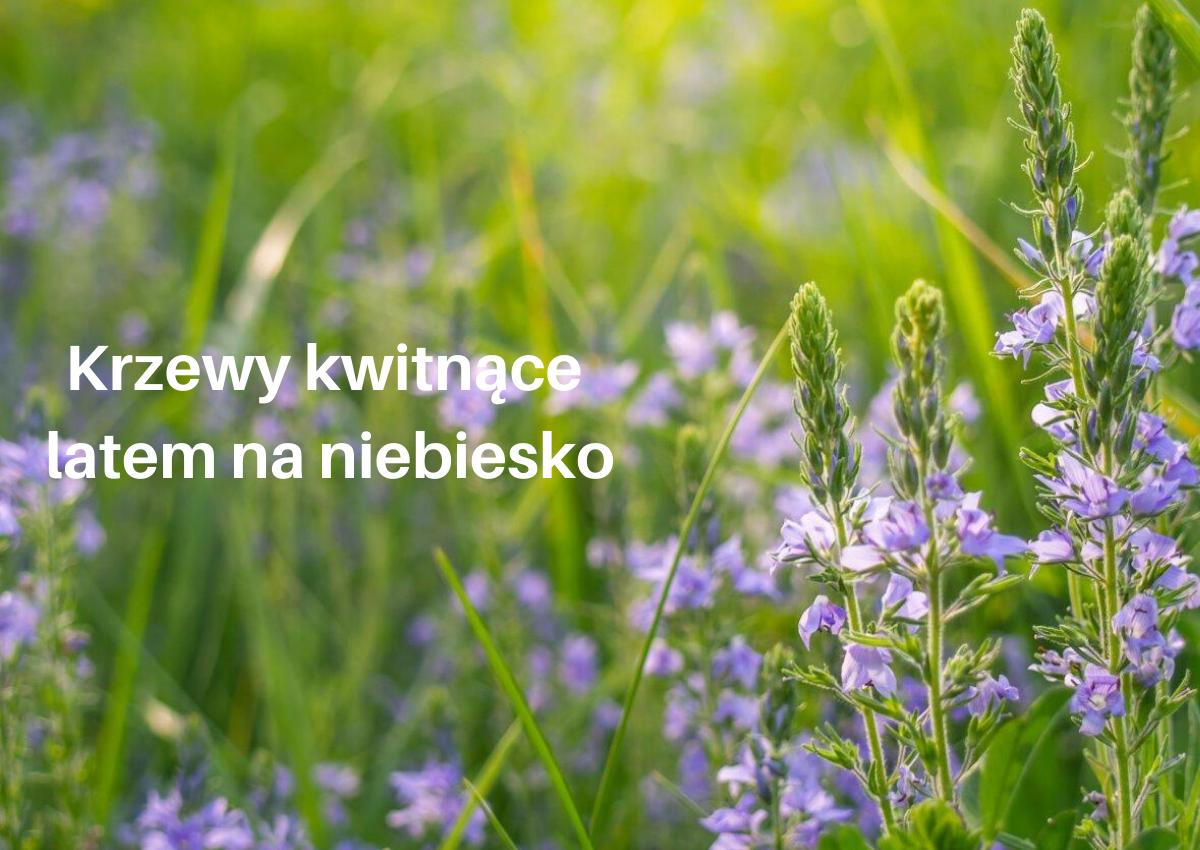 Krzewy kwitnące latem na niebiesko