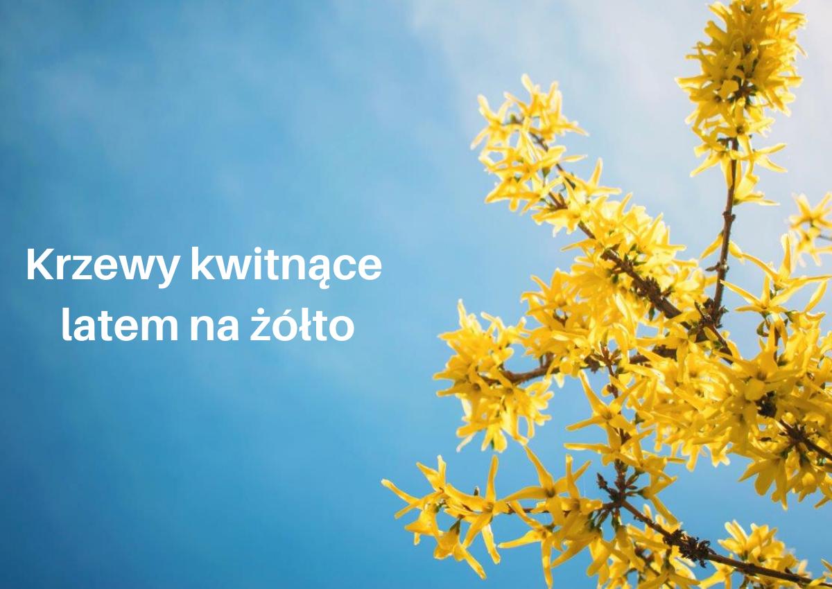 Krzewy kwitnące latem na żółto