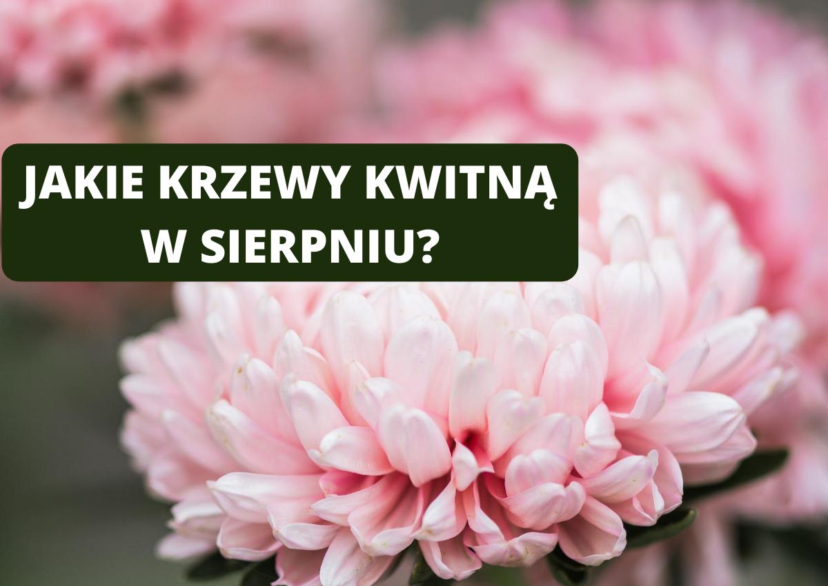 Krzewy kwitnące w sierpniu - Jakie krzewy kwitną w sierpniu?