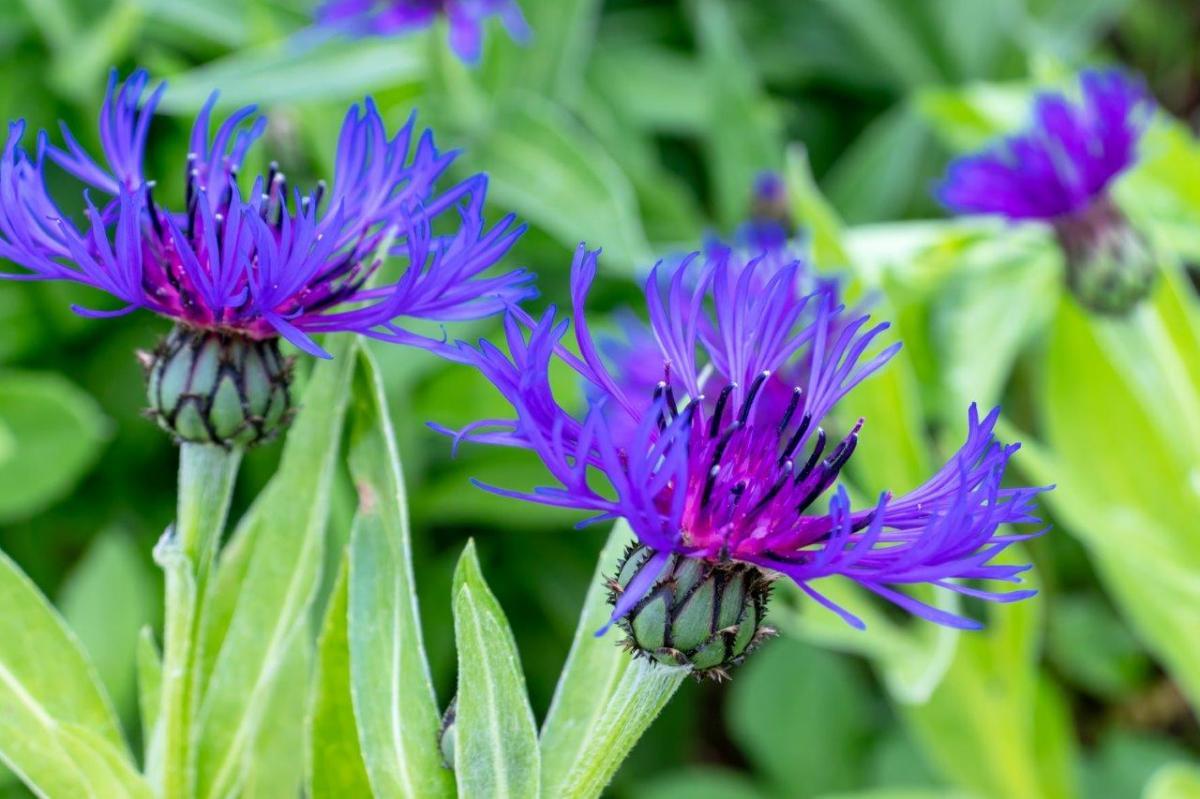 Niebieskie kwiaty kwitnące w czerwcu